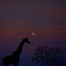 giraffe silhouette moon clouds background backgrounds remixit freetoedit