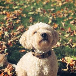 goldendoodle dog dogphotographer dogphotography