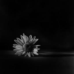 blackandwhitephotography blackandwhite minimal flower