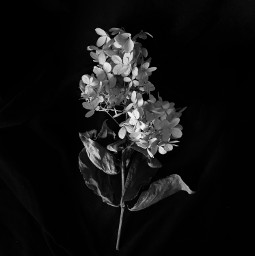 blackandwhite minimal dryflower blackandwhitephotography darkphotography