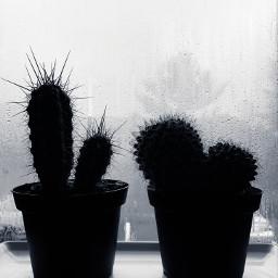blackandwhite minimal blackandwhitephotography cactus