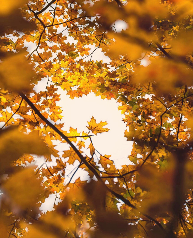#nature #tree #autummtree #treebranches #autumnleaves #goldensplendor #fallcolors #goldenyellow #foregroundblur #naturephotography                 #freetoedit