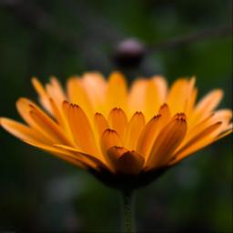 kinora flower yellow orange autumn freetoedit