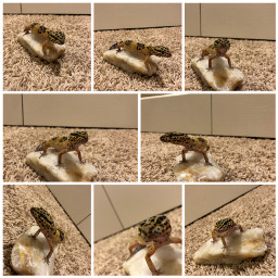 leopardgeckos collages