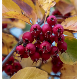 berries autumn autumnvibes nature tree colorful freetoedit