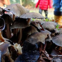kinora mushroom autumn nature freetoedit
