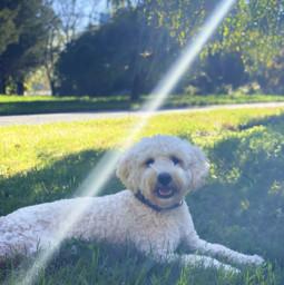 dog goldendoodle dogphotography doggo sunlight prettyday