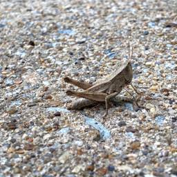 grasshopper macrophotography naturephotography myphotography closeupphotography insects nature photography