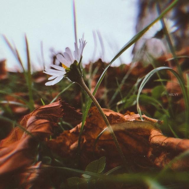 """Fall is the spring of winter""🍁🌼🍂""L'autunno è la primavera dell'inverno"" (Henri de Toulouse-Lautrec)  #italy #shotoniphone #myphoto #myshot #autumn #autumncolors #autumnleaf #foliage #nature #fall #deasy #fiorellino #flower #autunno #photography  #freetoedit"