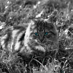 blackandwhite photography myphoto myedit colorsplash eyes blue beauty sweet cat catsofpicsart madewithpicsart like love follow