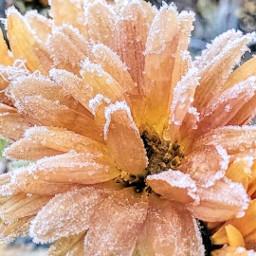 frost frozen winterscenes winterlove winter flower flowerphotography flowerpower flowerart blume blumen blumenzauber blumentraum blüte blümchen natur nature natürlich naturephotography natureart picsart inspiration freetoedit
