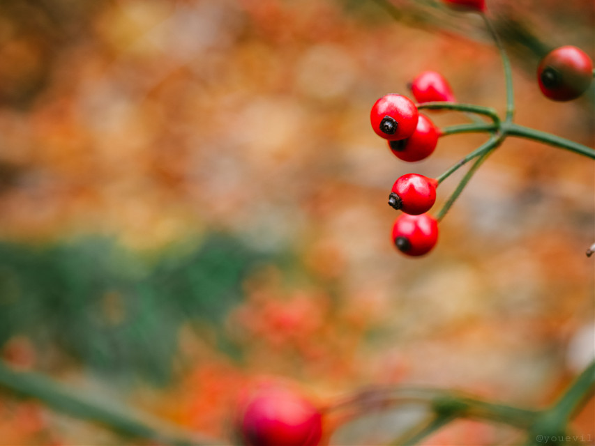 #rcthankful#forthis#beautiful#vibrant#colors#of#nature#red#berries#redberries#christmascolors#almostchristmas @roxannegraziadei-fatta #freetoedit#addquotes