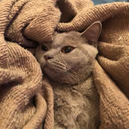cat lazy kitty cutecat lazycat britishshorthair matildthecat