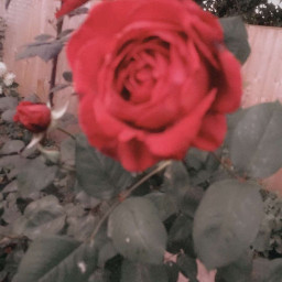 roses lucyfoxm photography staycation dublin ireland loveit flowers flower rose thisiscool cool filtered loveitttt