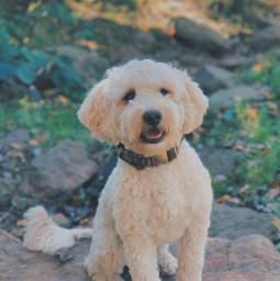 goldendoodle dog dogphotography dogphotoshoot dogphotographer dogphotos