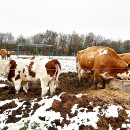 cows snow cowinthefield