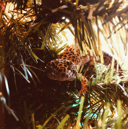 christmasiscoming petphotography leopardgecko interesting photo animallover