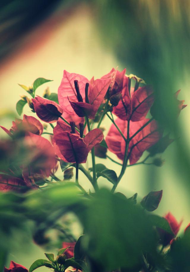 #nature #plantsandflowers #flowers #naturesbeauty  #bougainvilleas #greenbushes #foregroundblured #sunriselight #softcontrast #naturephotography