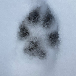 freetoedit snow neve animal print winter ground floor dog paw