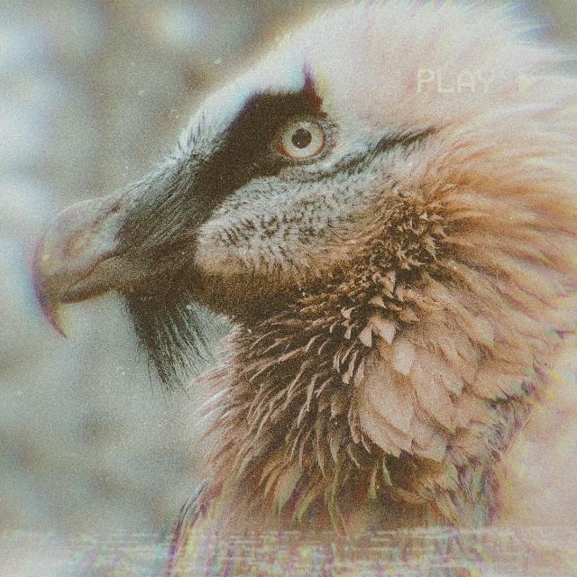 The Bearded Vulture. My favorite out of all Birds of prey aka Raptors   #birdofprey #raptor #vulture #beardedvulture #beauty #favouriteanimal #bird #avian #iwasboredsoimadethis #ilovebirds