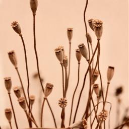 freetoedit nature autumntime wildflowers poppies simplenature driedflowers poppyseedheads simplethings appreciatenaturearoundyou naturephotography