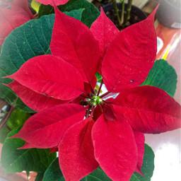 nochebuena navidad diciembre red flordenochebuena flor nature christmas 2020 freetoedit