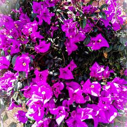 morado flores bugambilia bugambilias plantas naturaleza nature photography naturephotography freetoedit