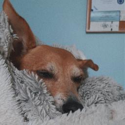 dog cute blanket cozy soft puppy ears love pet petdog adorable winter freetoedit pcmyinspiration myinspiration