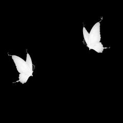 freetoedit butterfly butterflys butterflyeffect butterflywings butterflybrush butterflylove butterflyremix butterflysticker butterflyaesthetic butterflystickers butterflybackground white whiteaesthetic whitemoon whitebutterfly