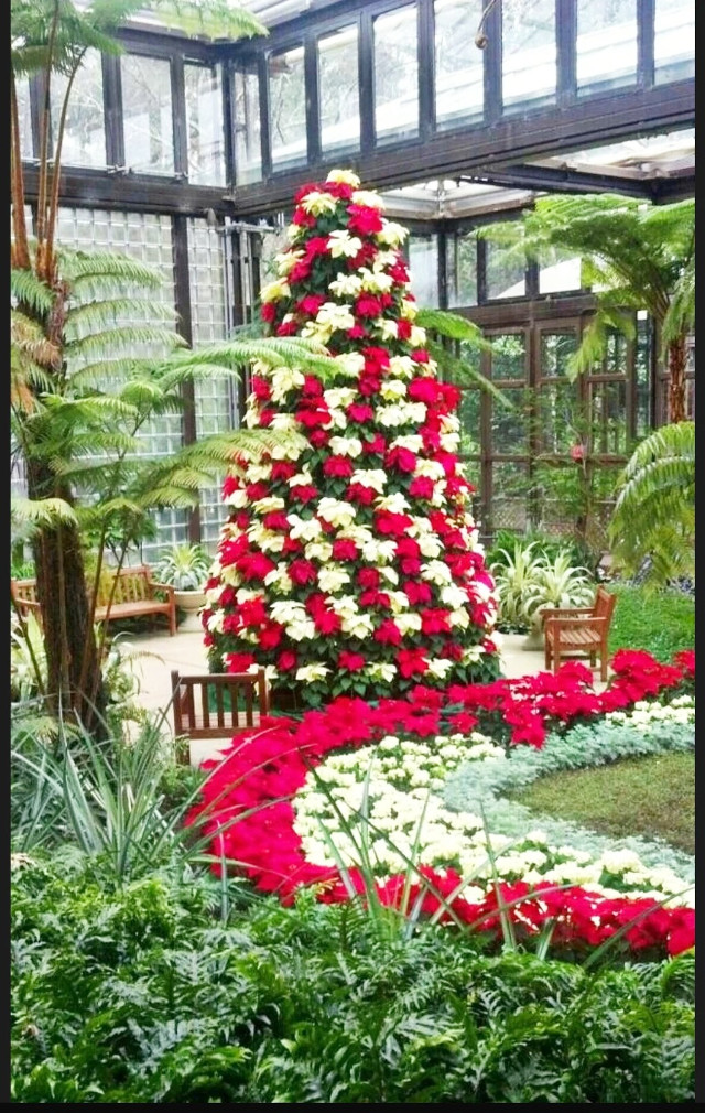 #christmas #christmastree #colorful #december  #flowers #greenhouse #red #white #christmasspirit #poinsettias #poinsettiatree