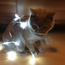 lights cutecat britishshorthair matildathecat