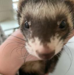 cute ferret