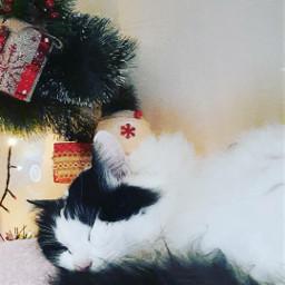 christmascat cat picsartpets freetoedit