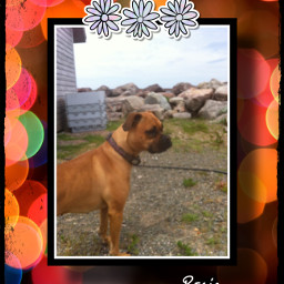 picsart picsartist picsartists rosie chien dog boxer freetoedit