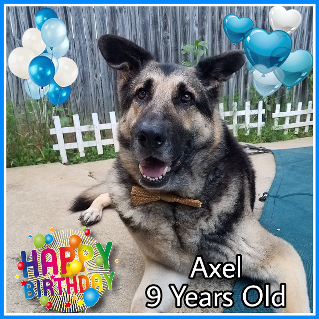 Happy Birthday Axel! 9 years old today! #dog #puppy #dogs #dogsofpicsart #doggie #doglover #gsd #birthday