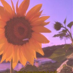 sunflower flower field summer spring nature photography vintage picsart picsartedit freetoedit