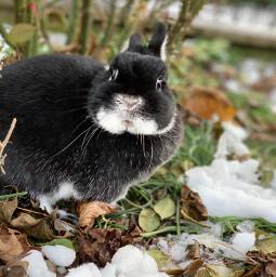 blacky black bunny rabbit cute cuteness mybunny bestbunny bestrabbit pleaseremix sooocute