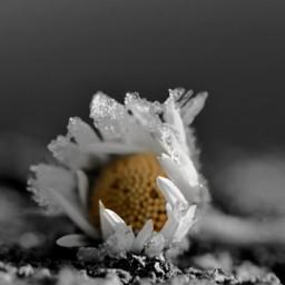 freetoedit daisy closeup blackandwhite colorsplash frozen natureinjanuary