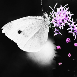 freetoedit blackandwhite colorsplash photography nature butterfly