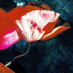 freetoedit poppies flowers nature colorful myedit myart myremix myoriginalphoto