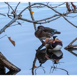 birds mandarinduck ducks lake couple freetoedit