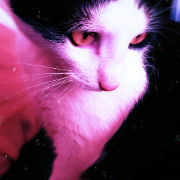 cat pet unconditionallove animal loveyou careful lovely foreveryours freetoedit
