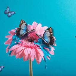 butterflies butterfly flower pink pinkflower blue bluebutterfly bluebutterflies paintdrips freetoedit srcbluebutterflies