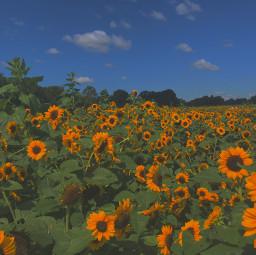 sunflower green yellow summer
