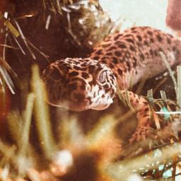 lizards leapordgecko tree freetoedit