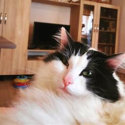 freetoedit petsandanimals picartpets cats