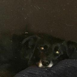 dog germanshepherddog bordercollie cute awe aww black white pillow doggie adorable picsart popular hehe