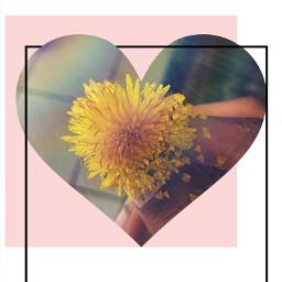 sunflowers sunflower sunflowerheart