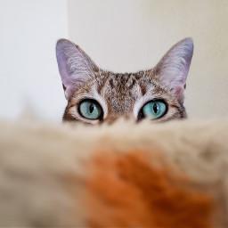 cat love cutecat cut green greeneyes eyecloseup eyes picoftheday photooftheday myphotography myedit picsartpets freetoedit