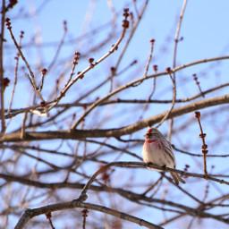 sizerinflammé oiseau nature hiver neige snow winter commonredpool bird wintertime